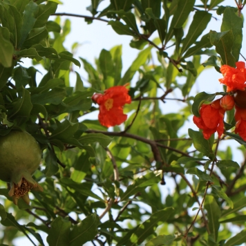 Israel-Rimonim-Pomegranate