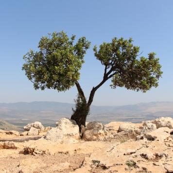 Mt-Arbel-split-tree